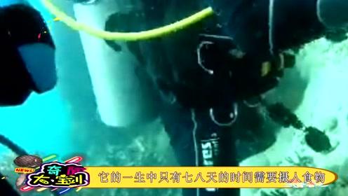 这种海底生物,一生只要吃上七八天食物,就能活上上成岁