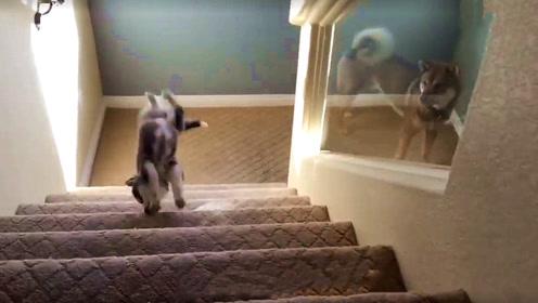 二哈下楼梯,下到一半嫌太高就往回走,下一秒忍住别笑!