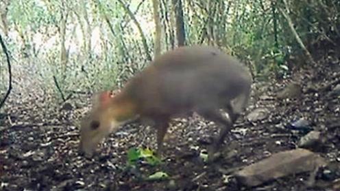 """鼠脸鹿身?越南出现消失30年的银背鼠鹿:科学家曾以为其已""""灭绝"""""""