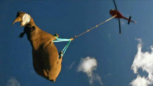 牛X上天了!非洲黑犀倒挂直升机搬运:全程蒙眼不敢看