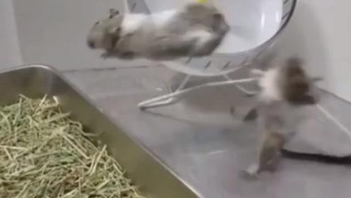两只老鼠为抢夺食物打架,跳起来就是一个回旋踢,网友:练过的