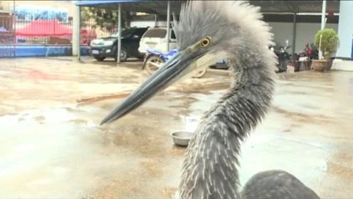 """村民河边""""捡""""到一只大鸟,竟是极度濒危物种"""