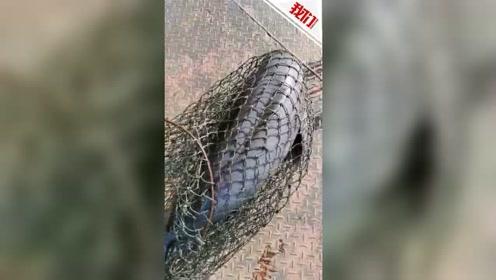 长江新螺段发现死亡江豚 专家:应是洞庭湖口漂下来