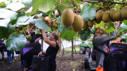 中国猕猴桃被奇异果猛扇一巴掌,才引入新西兰100年,价格翻十倍不止!