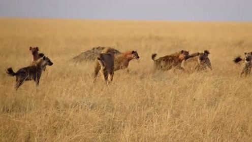 吃饱喝足的雄狮,被10多只怪叫的鬣狗包围!气场决定了谁才是老大
