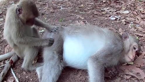 猴子调皮那是出了名的,连给母猴捉虱子都不正经,镜头记录下一切