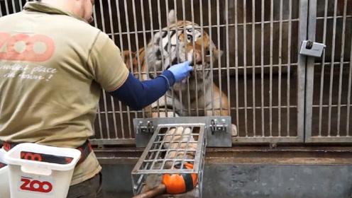 男子给老虎抽血,直接扎进老虎的尾巴里,镜头记录精彩过程