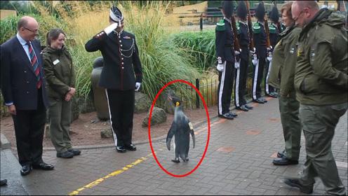 世界上最牛的企鹅,获得准将军衔!军官见了它都得行礼!