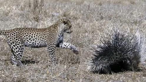 花豹欲捕食豪猪,下一秒请憋住别笑,网友:豹子借箭吗?