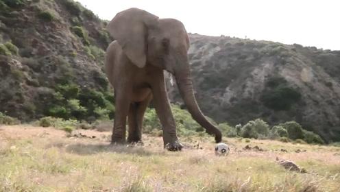 少年足球队的特殊成员,这头大象球技不错,网友:厉害了我的大象