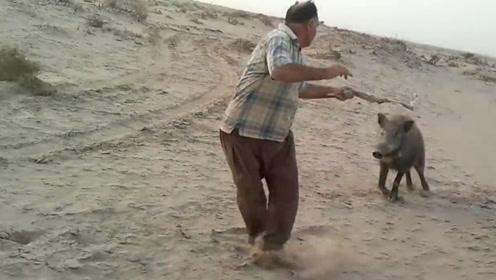 为了彻底解决野猪泛滥,秃头大叔提鞭上阵,和野猪硬碰硬!