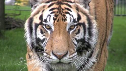 男子动物园挑衅老虎,被老虎盯得双腿发软,眼神太可怕了