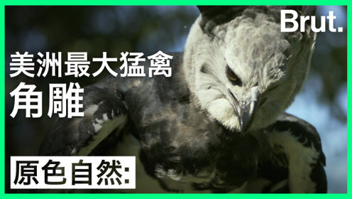 美洲最大的猛禽,背后有哪些秘密?