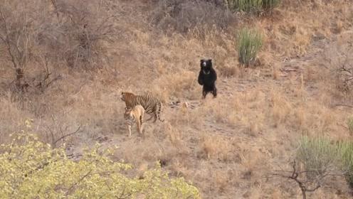 老虎欲捕食黑熊,却反被吓退,下一秒请憋住别笑