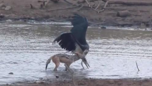 鹳正在河边喝水,不料被胡狼一口咬住脖子,镜头拍下全过程