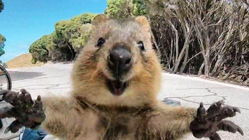 最爱上镜的动物,长着一副笑脸,体高不到60厘米成最小袋鼠之一