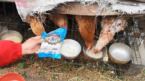 鸡饲料中加点小苏打,长得快,产蛋多,一年省几千元,不学太亏