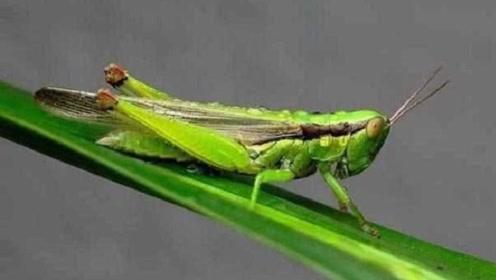 为何古代闹蝗灾时,人们宁愿饿死也不抓蝗虫吃,看完明白了