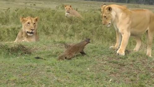 只因被狮子追了它一下,就决定单挑三只狮子,结局让人意想不到