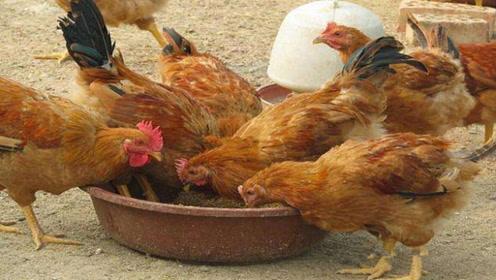 """养鸡时,饲料里加几样""""小东西"""",鸡长得又肥又壮,一年省很多钱"""