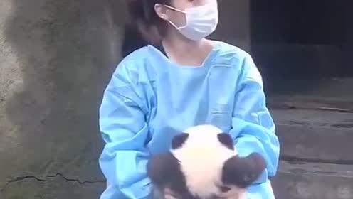 熊猫宝宝太萌了!跟漂亮奶妈的颜值一样高!