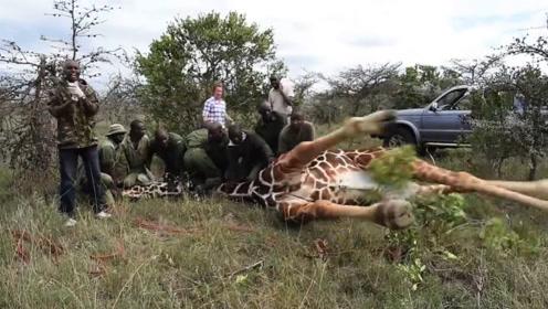 10名男子将一头长颈鹿按倒在地,只为取下一样东西!