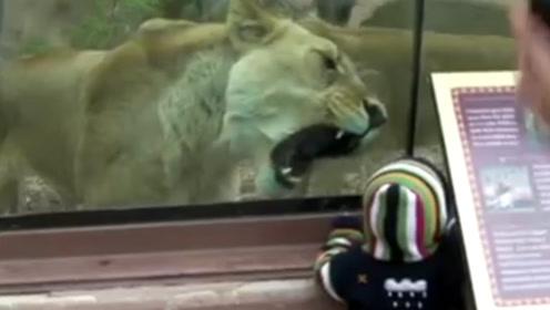狮子兽性大发张大嘴巴,宝宝不停呼喊,狮子的反应太逗了