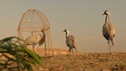 商人用雌鸟捕捉雄鸟,只需将它放在笼子里,成群的雄鸟纷纷自投罗网