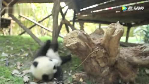 熊猫宝宝爬上爬下摔了一跤!估计跑回去找奶妈撒娇去了!