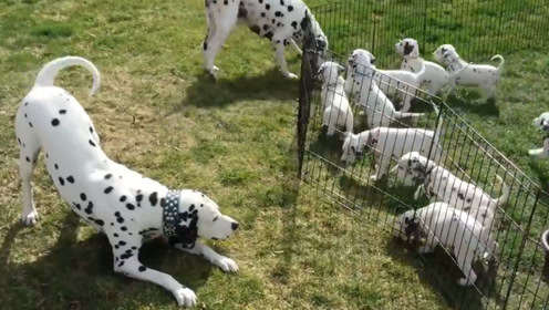 狗爸狗妈训练小狗子运动,小狗子纷纷模仿父母,画面非常有爱