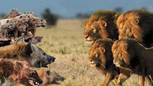 鬣狗也有天敌,遇到后只好等死,还真是一物降一物