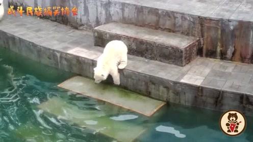 原来北极熊也怕水!北极熊宝宝第一次下水的表现太好玩了