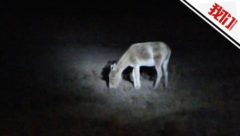 世界濒危蒙古野驴现身中蒙边境 防止被铁网割伤民警将它驱离
