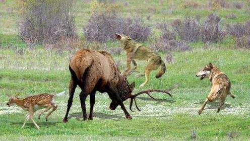 大兴安岭出现大型野兽,体重1吨比犀牛还高,唯一最怕狼群