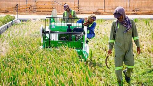 我国又创造出奇迹,沙漠地带种出高产水稻,已大面积种植