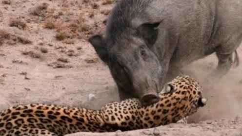 花豹欲捕食野猪,下一秒意外发生,野猪差点咬死一头花豹