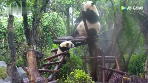 熊猫宝宝被熊妈硬生生给拽上去!不怕扯坏这黑白毛衣吗!