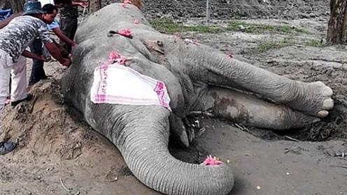 """印度大象""""本·拉登""""被捕6天后死亡 曾踩死5人吓坏村民"""