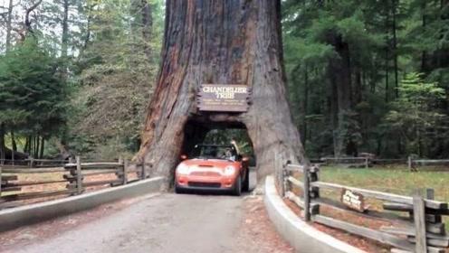 一棵千年大树因修路,决定将其中间凿成隧道,如今人们追悔莫及!
