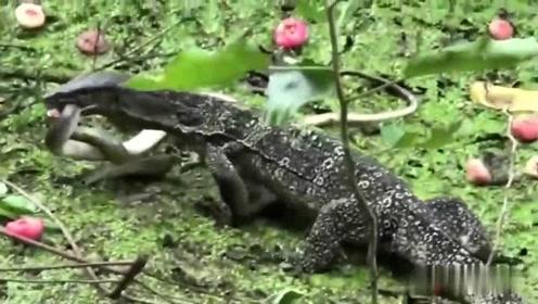 巨蜥不费吹灰之力就捕捉到了一条剧毒蛇,毒蛇在它口中毫无反抗之力