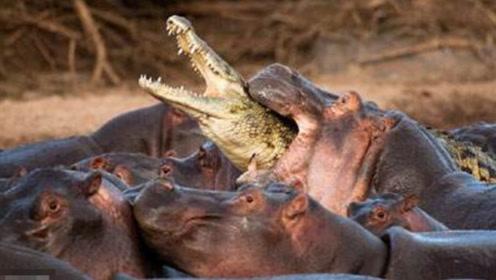 鳄鱼本想大吃一顿,最后却白白葬送了生命,镜头记录反转时刻