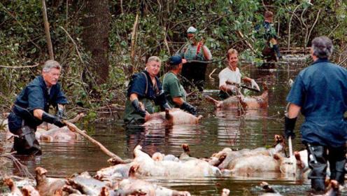 红河猪这繁殖力,在非洲已泛滥成灾,是时候把它引进中国了!