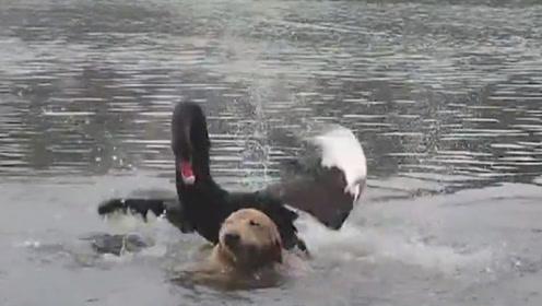 """金毛下水游泳遇见黑天鹅,被穷追不舍""""暴揍"""",铲屎官都心疼死了!"""
