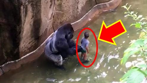 """男孩意外跌入猩猩园内,下秒猩猩""""暴走"""",结局令人心疼"""