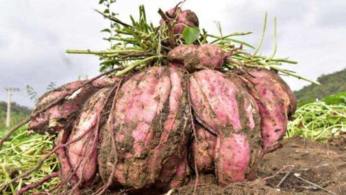 """农民在地里挖红薯,挖出一个重达25斤的红薯,堪称""""巨无霸"""""""