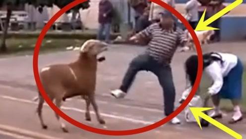 小黑羊不停的攻击主人,不料被狗子发现了,下一秒拦都拦不住
