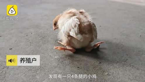 活久见!小鸡长出4条腿,十几年养殖户称第一次见:会养下去
