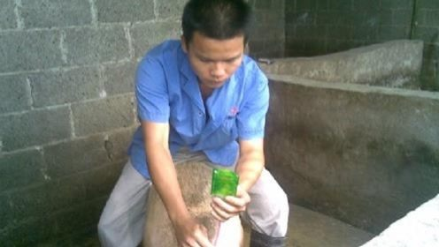 农村母猪如何是配种的?一般人还真干不了,得用高科技辅助才可以