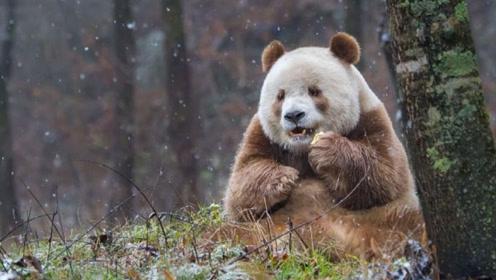 全球唯一的棕色大熊猫,幼时被妈妈遗弃,如今在动物园生活幸福
