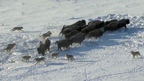狼群集体发起攻击,野牛惨被12只野狼围住,结局让人泪目